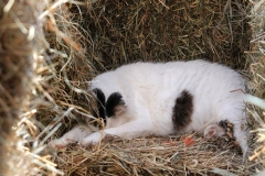 Resting in the Hay Bales