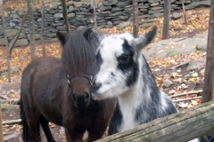 Mini Goat Horse